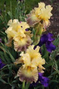 Afb. 2. De Iris Anne Constance, foto met hartelijke dank aan Richard Joosten van Kwekerij Joosten.