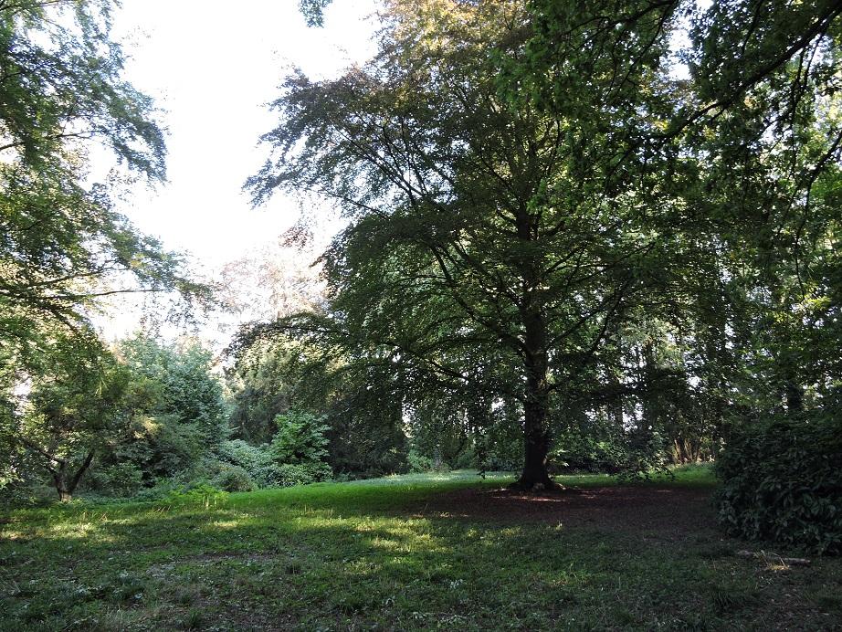 Afb. Rechts de beuk met het bijzondere verhaal in het park van Huys ten Donck.